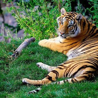bengal-tiger-1149535__340